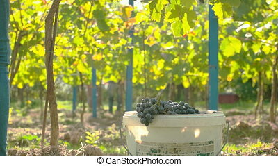 Wine Grape Harvest - Wine grape hanging from the tree,...