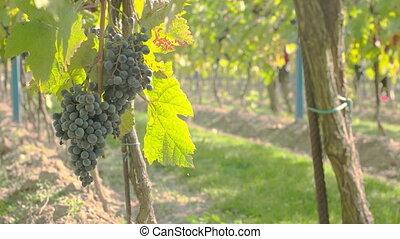 Wine Grape Harvest - Wine grape hanging from the tree,...