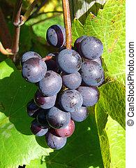 Wine Grapes - Bunch of Grapes at Vineyard.