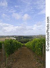 Wine grapes field