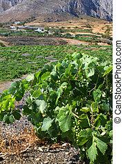 Mediterranean vineyard