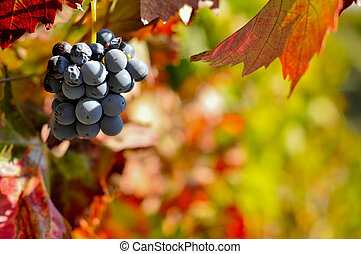 Red wine grapes on the vine with leaves