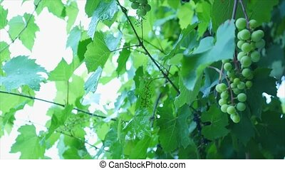 Wine grapes in vineyard on rain, close up detail with...