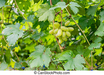Wine grapes in vineyard raw ready for harvest.