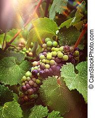 Wine grapes in vineyard sunrays