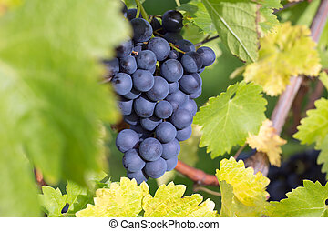 Wine grapes on a wine rack in autumn in nature