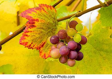 Wine Grapes on Grapevine Closeup