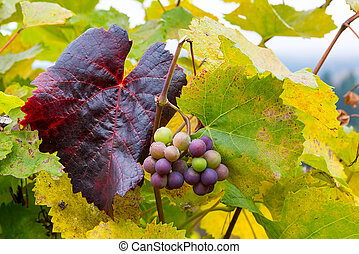 Wine Grapes on Grapevines in Fall Season