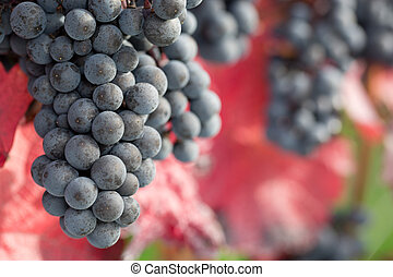 Wine grapes on the vine in autumn - Red wine grapes on the...