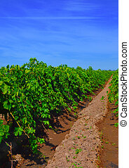 Wine, grapes, rows.