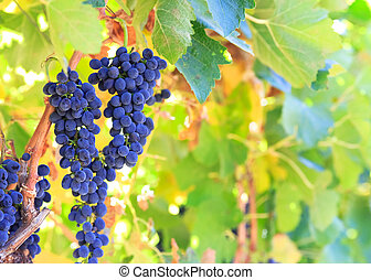 grapes - wine grapes