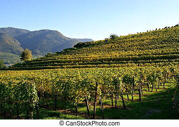 Vineyards in lower austria wachau
