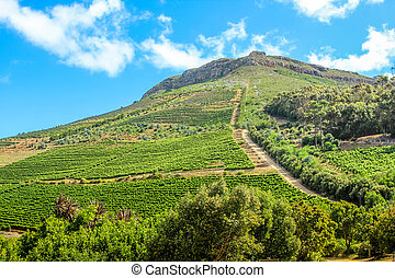 Spectacular wine-growing on the slopes of a hill. Constantia Valley in South Africa. World famous Wine Route 15 mins from Cape Town.