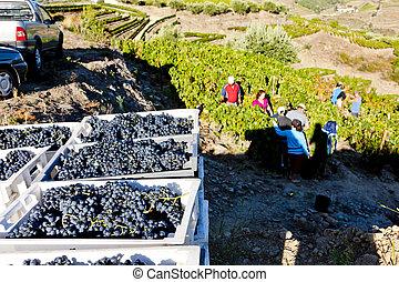 wine harvest, Douro Valley, Portugal