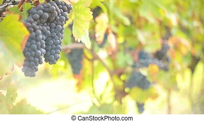 Wine harvesting - People selecting the best wine grapes,...