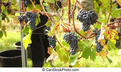 Wine harvesting - People selecting the best wine grapes