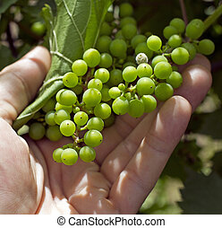 wine making - closeup of a hand holding a grape in a...