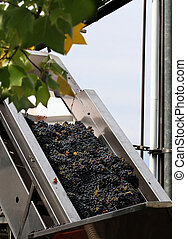 Wine making process - Grapes are picked and about to be...
