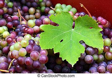 Wine making process - Larg vine leaf over a bunch of...