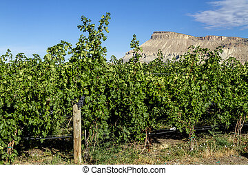 Wine Vineyards in Colorado River Valley