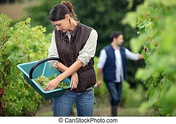 Winegrowers in the vineyard