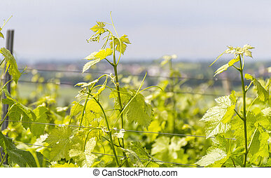 winegrowing detail around Loerzweiler in the Rhineland-...