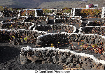 Winegrowing in volcanic soil of Canary Island Lanzarote, ...