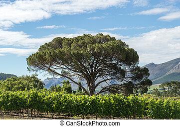 Winelands Tree - Tree in a vineyard.