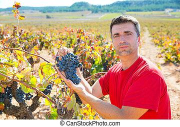 winemaker, cosechar, mediterráneo, uvas, bobal