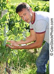 winemaker, em, vinhedo