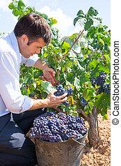 winemaker, granjero, bobal, cosechar, segador