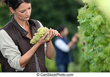 winemaker, uva, mazzo