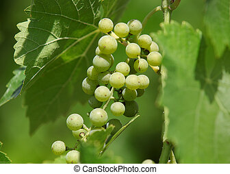 Bunch of green grapes in the wine yard