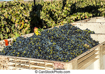 Winery Grape Harvest