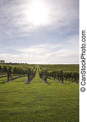 Winery - Looking over a vineyard towards the sea in Haumoana...