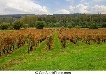 winery rows at fall