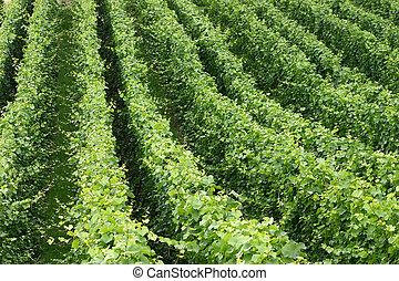 winery - A scene of vine plants in a winery