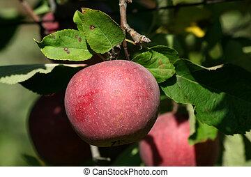 winesap jabłko, czerwony