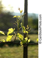 wineyard in may