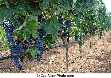 wineyard in sicily, italy