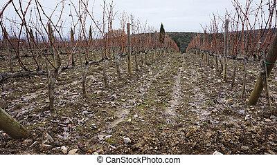Wineyard in the winter