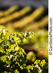 Wineyard - Nice wineyard in autumn.