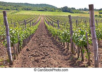 Wineyard - Bright summer wineyard on the hills