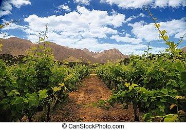 wineyard with sky