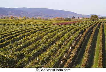 wineyards, en, verano