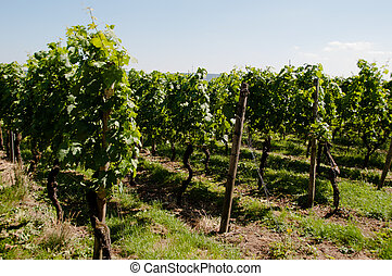 Wineyards In Early Summer