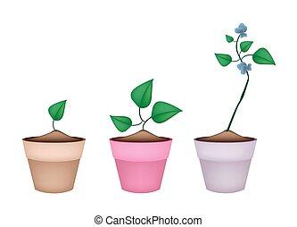 Winged Bean Plants in Ceramic Flower Pots