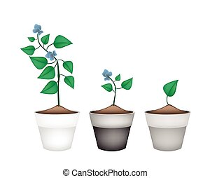 Winged Beans Plants in Ceramic Flower Pots