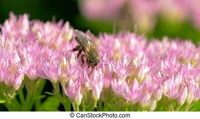Macro of bee gathering pollen from Milkweed - Winged bee...