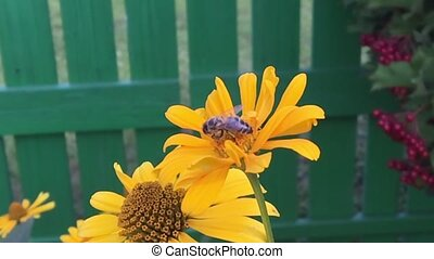 Winged bee slowly flies to the plant, collect nectar for...